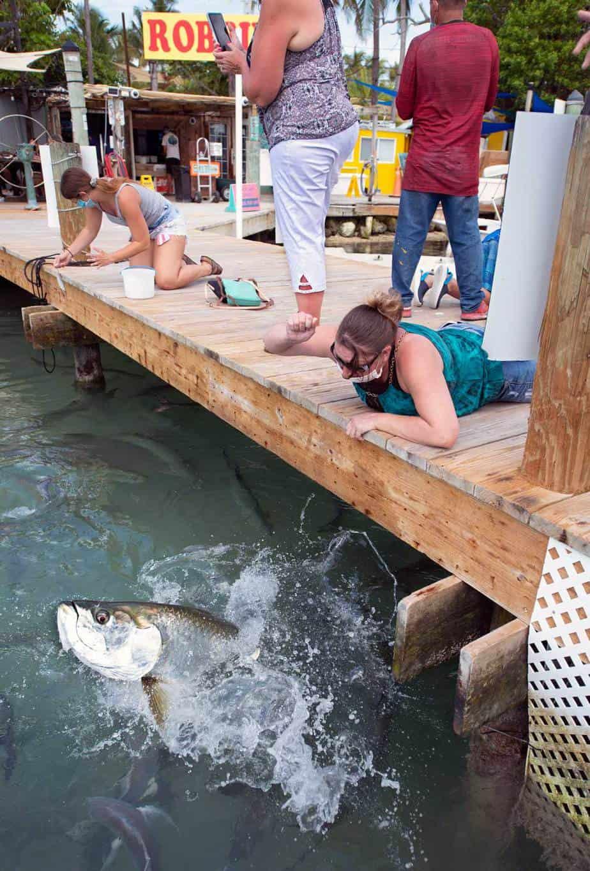 feeding tarpon robbies marina islamorada