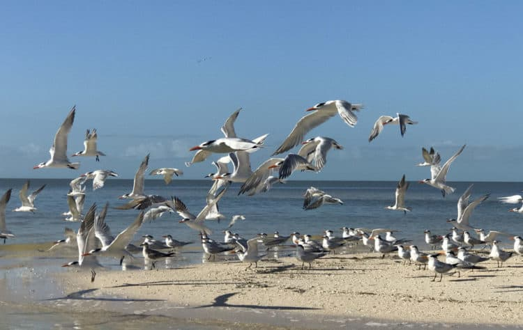 A flock of royal terns occupied a sandbar that our campsite overlooked. They were joined by a variety of birds we enjoyed watching. (Photo: Bonnie Gross)