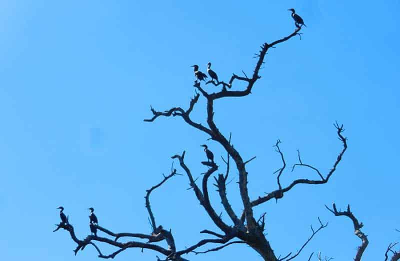 sanibel-cormorants