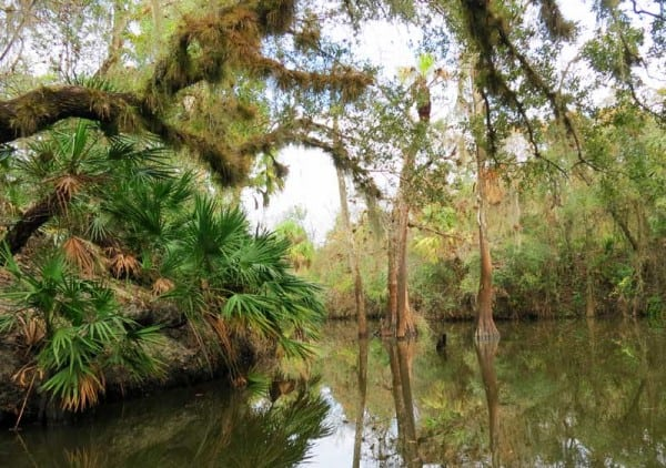 Cypress trees at Shell Creek, a beautiful kayak river near Punta Gorda