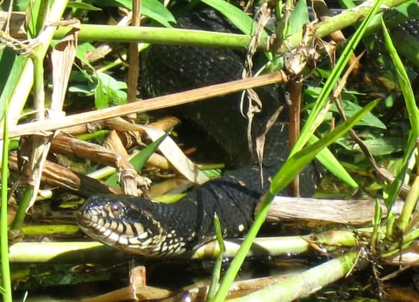 Eastern Indigo snake spotted while kayaking Arbuckle Creek.