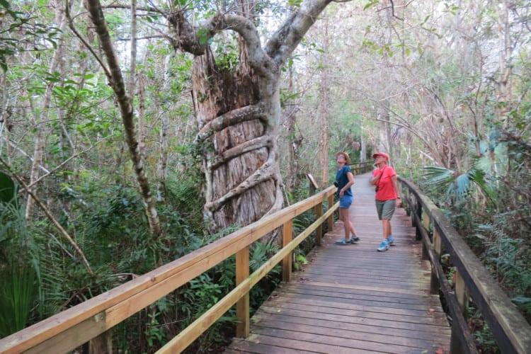 Things to do in Naples Florida: Strangler fig along Big Cypress Bend Boardwalk along the Tamiami Trail. (Photo: David Blasco)