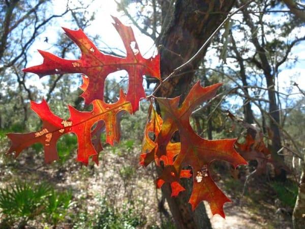 Oak leaves at Tiger Creek Preserve Trail