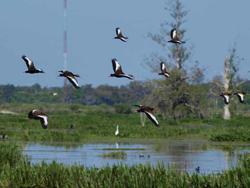 Florida hiking trails: A flock of whistling ducks at Circle B Bar Reserve. (Photo courtesy James Butler via Flickr.)