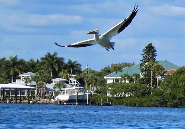 Charlotte Harbor kayaking presenets a good opportunity to see wintering white pelicans, which are much larger than our year-round residents, the brown pelican. (Photo: Bonnie Gross)