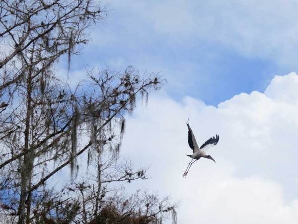A wood stork takes flight along Fisheating Creek near Lake Okeechobee.