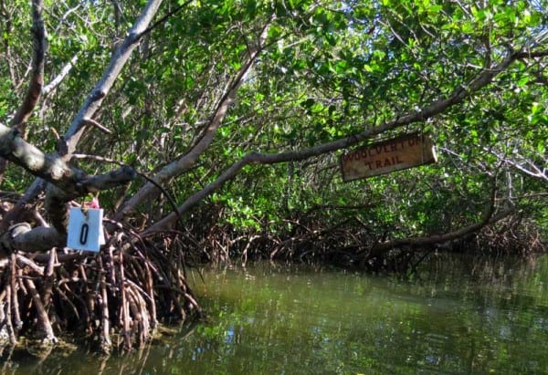 Charlotte Harbord kayaking: White pelicans and mangrove mazes